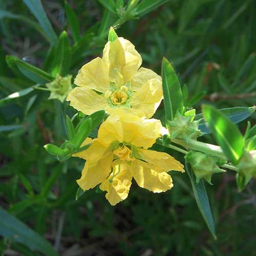 Heima Salicifolia